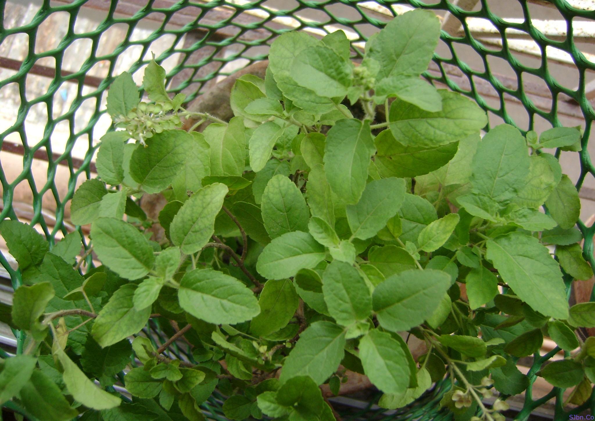 Tulsi (Ocimum Tenuiflorum)