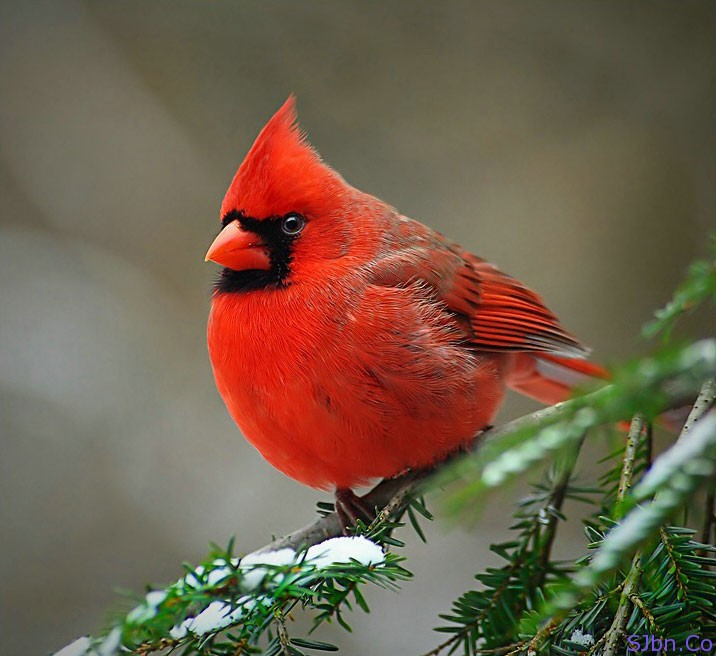 Secrete Of Natural And Real Red Angry Bird